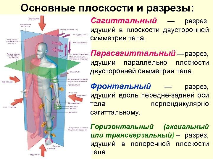 Основные плоскости и разрезы: Сагиттальный — разрез, идущий в плоскости двусторонней симметрии тела. Парасагиттальный