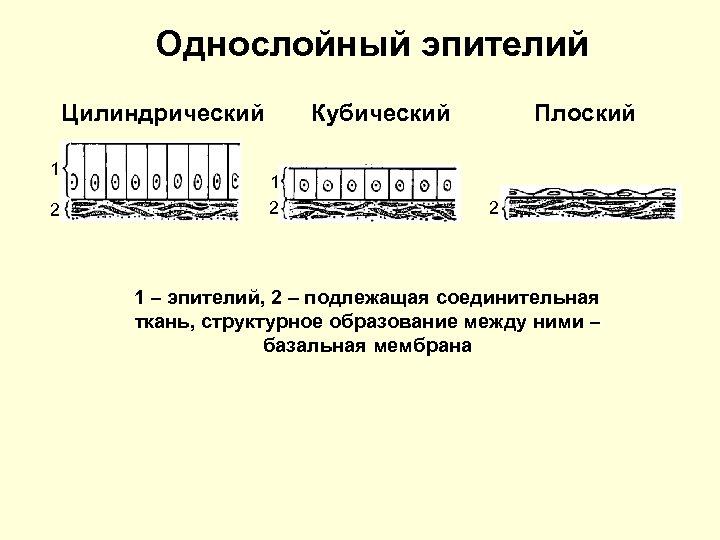 Однослойный эпителий Цилиндрический 1 2 Кубический 1 2 Плоский 2 1 – эпителий, 2