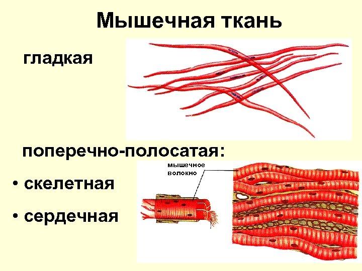 Мышечная ткань гладкая поперечно-полосатая: • скелетная • сердечная мышечное волокно