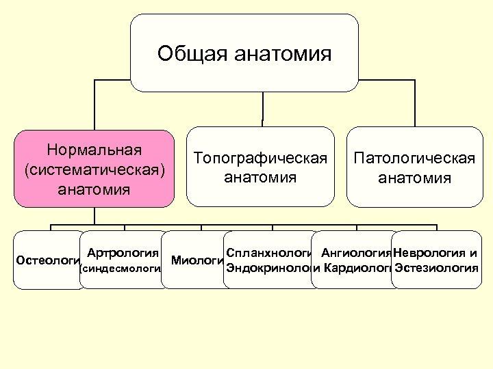 Общая анатомия Нормальная (систематическая) анатомия Топографическая анатомия Патологическая анатомия Артрология Спланхнология. Ангиология. Неврология и