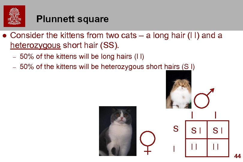 Plunnett square l Consider the kittens from two cats – a long hair (l