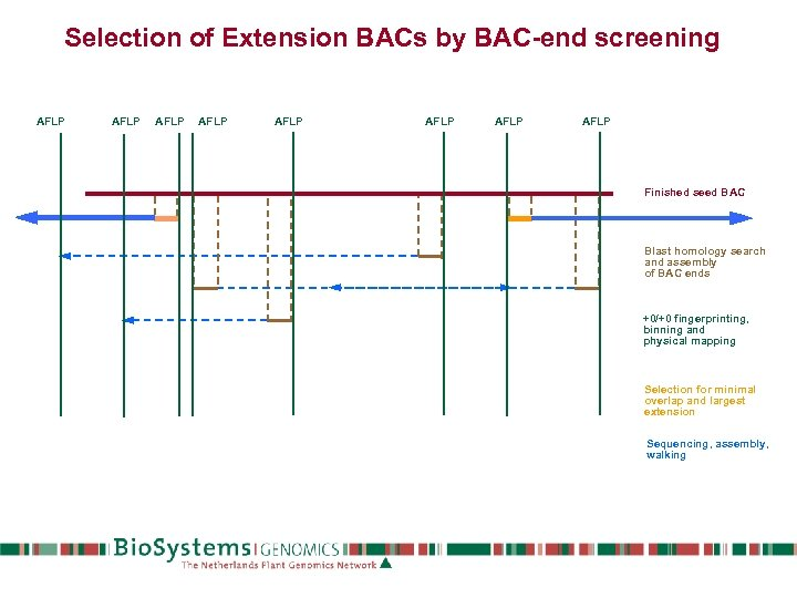 Selection of Extension BACs by BAC-end screening AFLP AFLP Finished seed BAC Blast homology