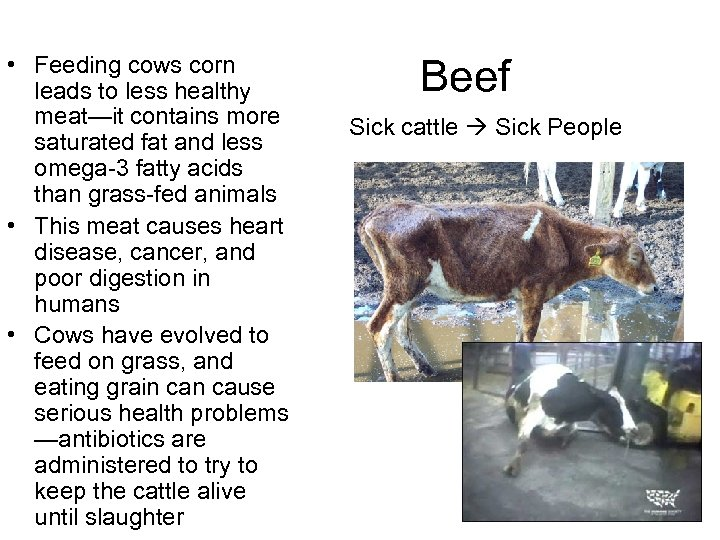 • Feeding cows corn leads to less healthy meat—it contains more saturated fat
