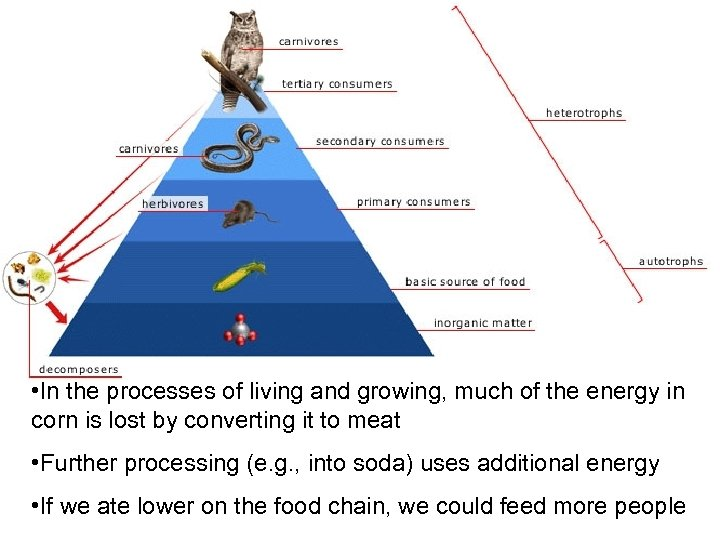 Food chain • In the processes of living and growing, much of the energy