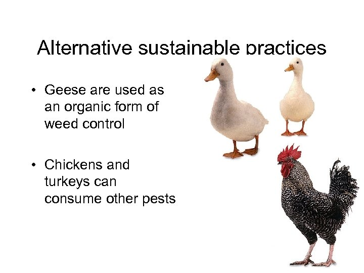 Alternative sustainable practices • Geese are used as an organic form of weed control