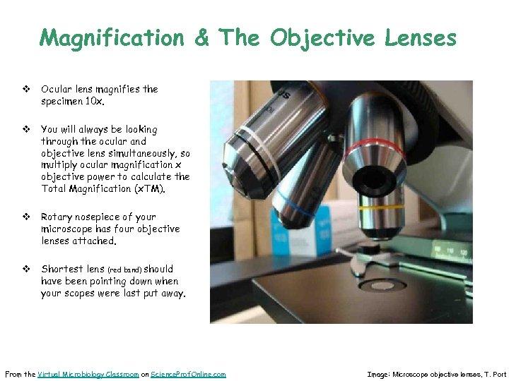 Magnification & The Objective Lenses v Ocular lens magnifies the specimen 10 x. v