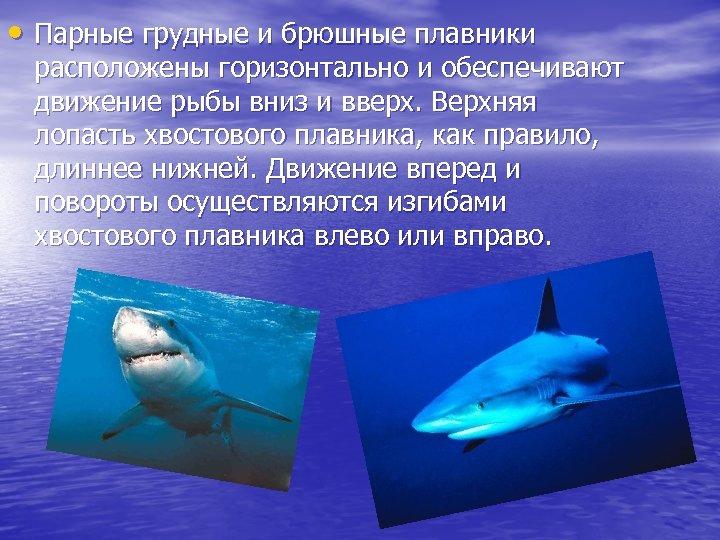 • Парные грудные и брюшные плавники расположены горизонтально и обеспечивают движение рыбы вниз