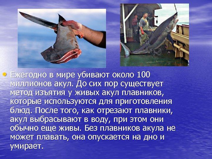 • Ежегодно в мире убивают около 100 миллионов акул. До сих пор существует