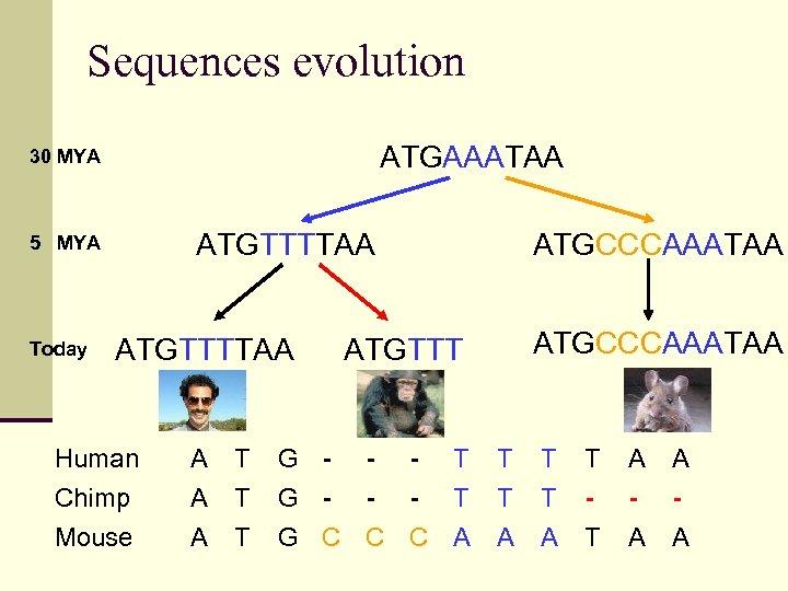 Sequences evolution ATGAAATAA 30 MYA ATGTTTTAA 5 MYA Today ATGTTTTAA Human Chimp Mouse A