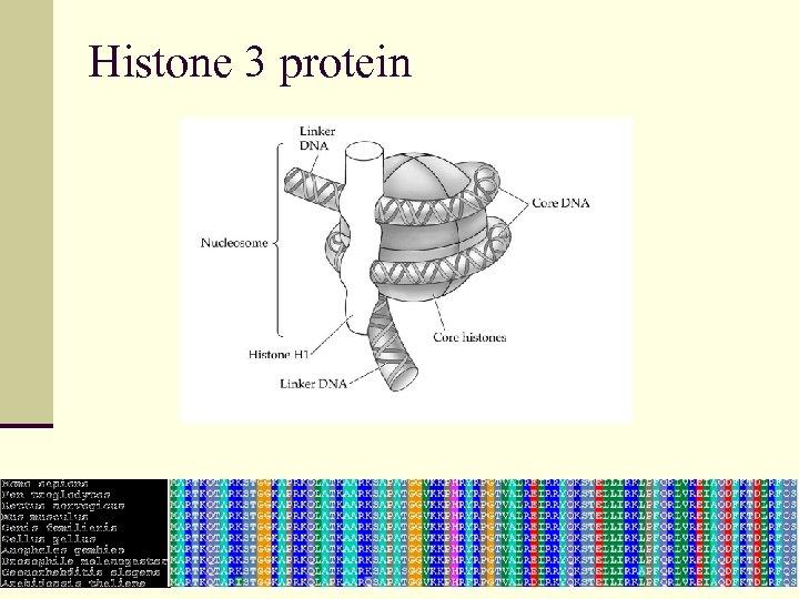 Histone 3 protein