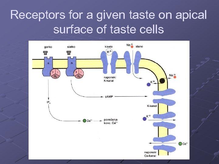 Receptors for a given taste on apical surface of taste cells