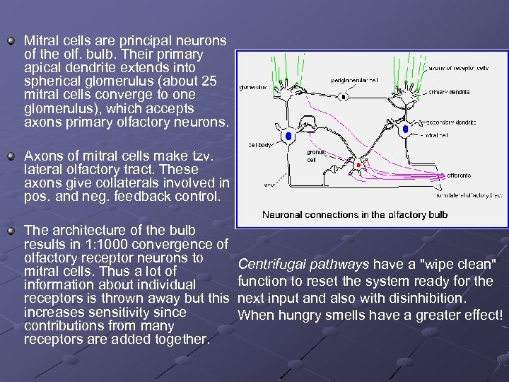 Mitral cells are principal neurons of the olf. bulb. Their primary apical dendrite extends