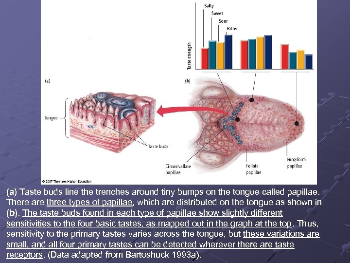 (a) Taste buds line the trenches around tiny bumps on the tongue called papillae.