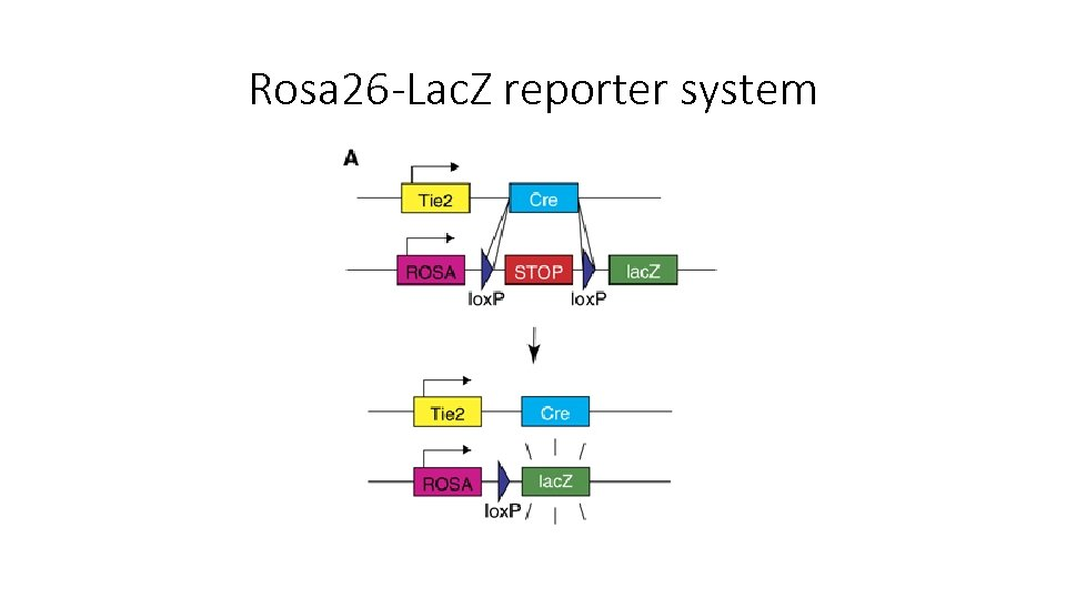 Rosa 26 -Lac. Z reporter system