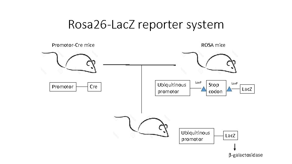 Rosa 26 -Lac. Z reporter system Promotor-Cre mice Promotor Cre ROSA mice Ubiquitinous promotor