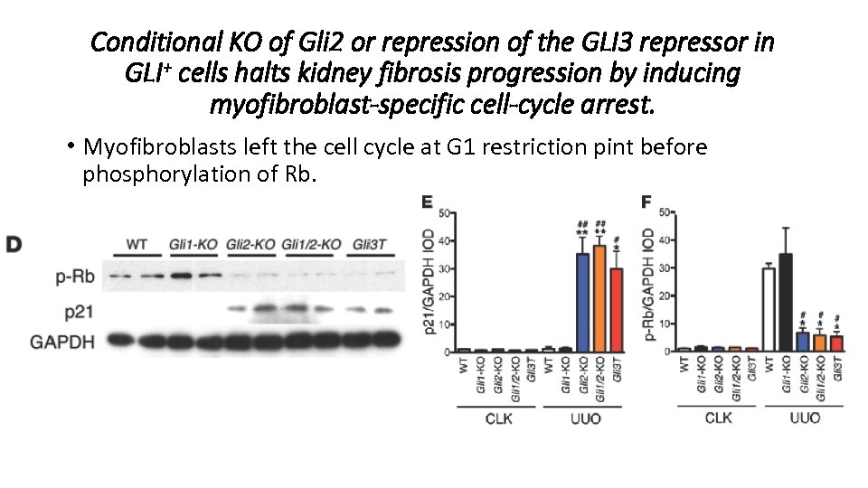 Conditional KO of Gli 2 or repression of the GLI 3 repressor in GLI+