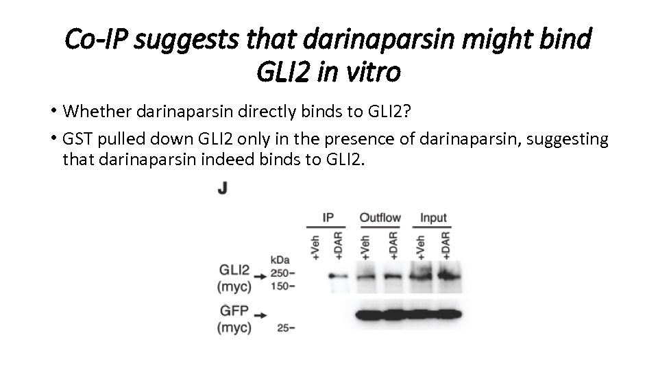 Co-IP suggests that darinaparsin might bind GLI 2 in vitro • Whether darinaparsin directly