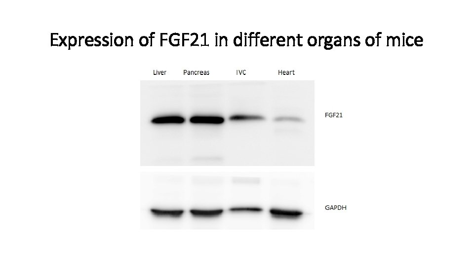 Expression of FGF 21 in different organs of mice