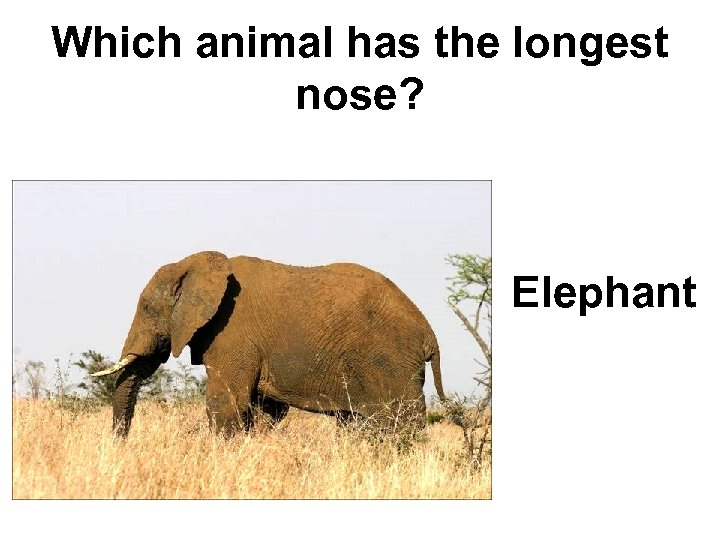 Which animal has the longest nose? Elephant