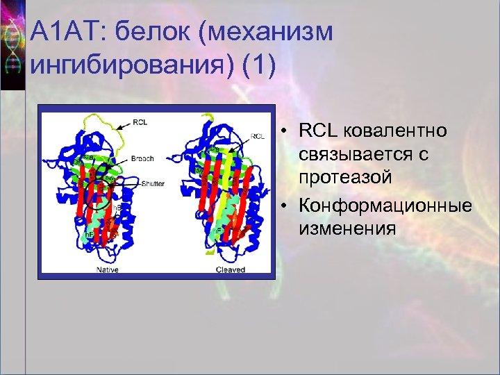 А 1 АТ: белок (механизм ингибирования) (1) • RCL ковалентно связывается с протеазой •