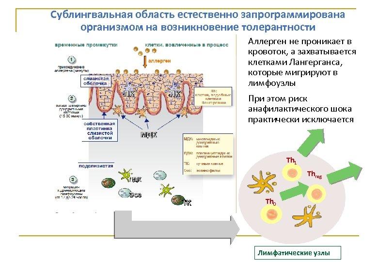 Сублингвальная область естественно запрограммирована организмом на возникновение толерантности Аллерген не проникает в кровоток, а