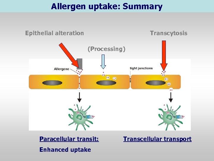 Allergen uptake: Summary Epithelial alteration Transcytosis (Processing) Paracellular transit: Enhanced uptake Transcellular transport