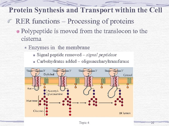 Protein Synthesis and Transport within the Cell RER functions – Processing of proteins Polypeptide