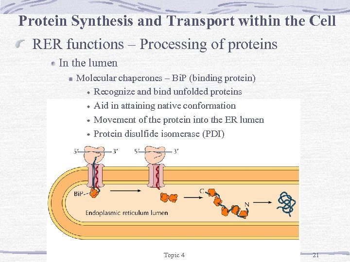 Protein Synthesis and Transport within the Cell RER functions – Processing of proteins In