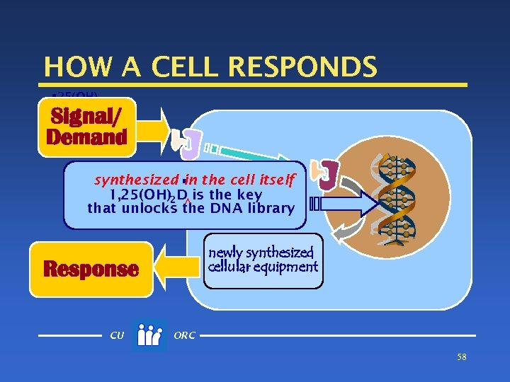 HOW A CELL RESPONDS § 25(OH) D Signal/ Demand synthesized § the cell itself