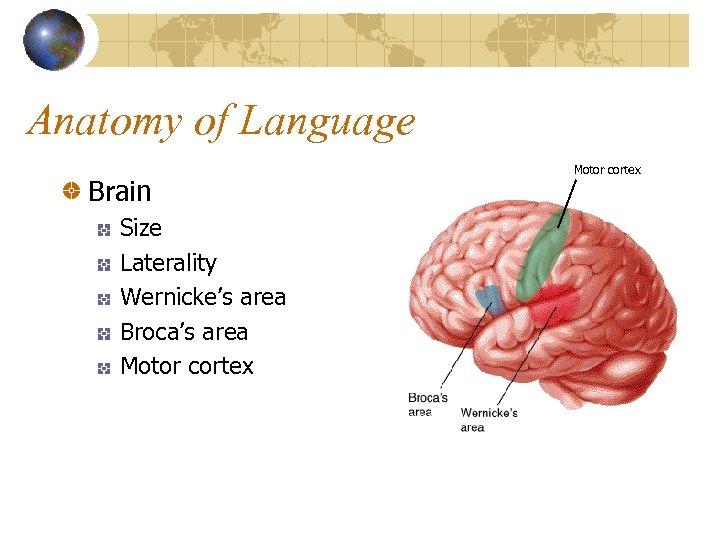Anatomy of Language Brain Size Laterality Wernicke's area Broca's area Motor cortex