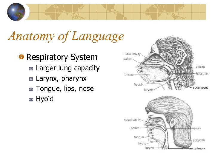Anatomy of Language Respiratory System Larger lung capacity Larynx, pharynx Tongue, lips, nose Hyoid