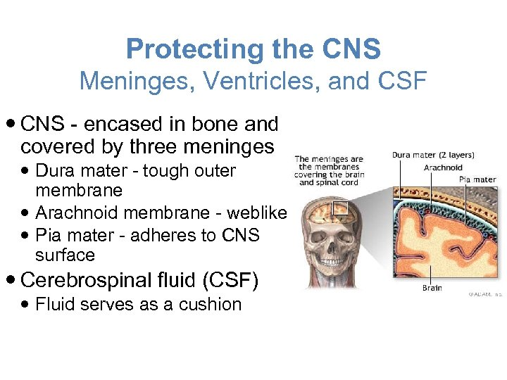 Protecting the CNS Meninges, Ventricles, and CSF CNS - encased in bone and covered