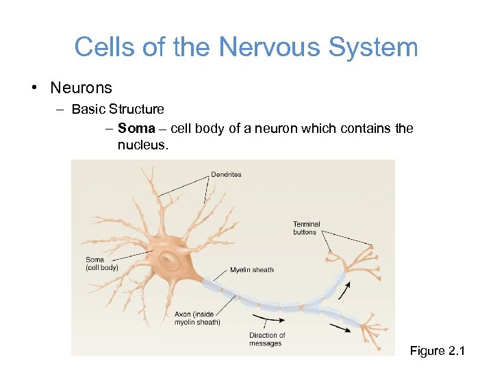 Cells of the Nervous System • Neurons – Basic Structure – Soma – cell