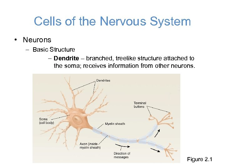 Cells of the Nervous System • Neurons – Basic Structure – Dendrite – branched,