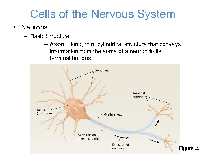 Cells of the Nervous System • Neurons – Basic Structure – Axon – long,
