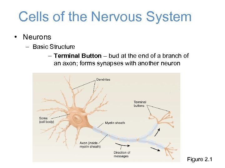 Cells of the Nervous System • Neurons – Basic Structure – Terminal Button –