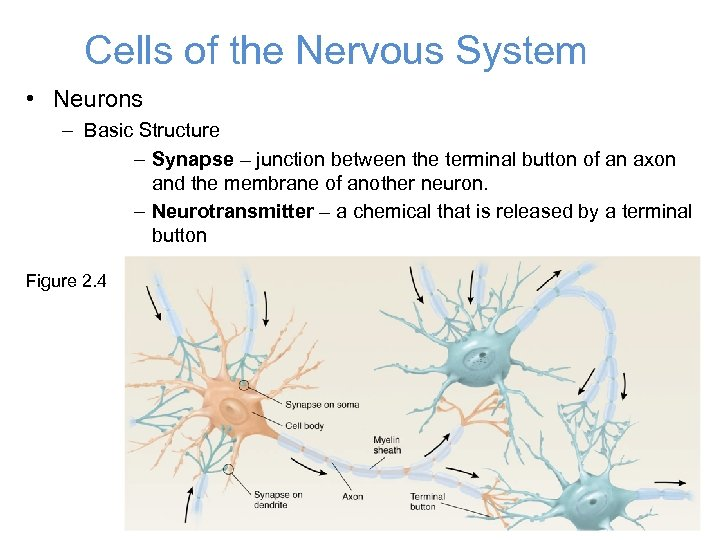 Cells of the Nervous System • Neurons – Basic Structure – Synapse – junction