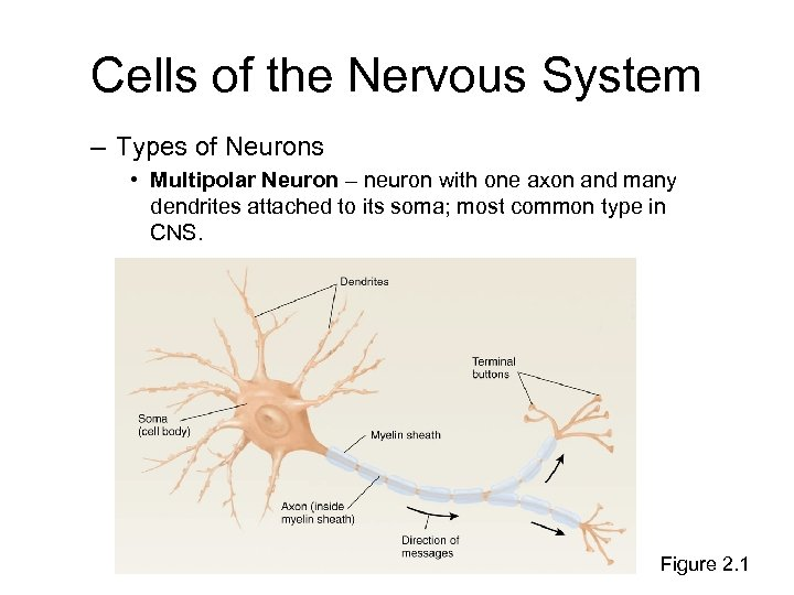Cells of the Nervous System – Types of Neurons • Multipolar Neuron – neuron