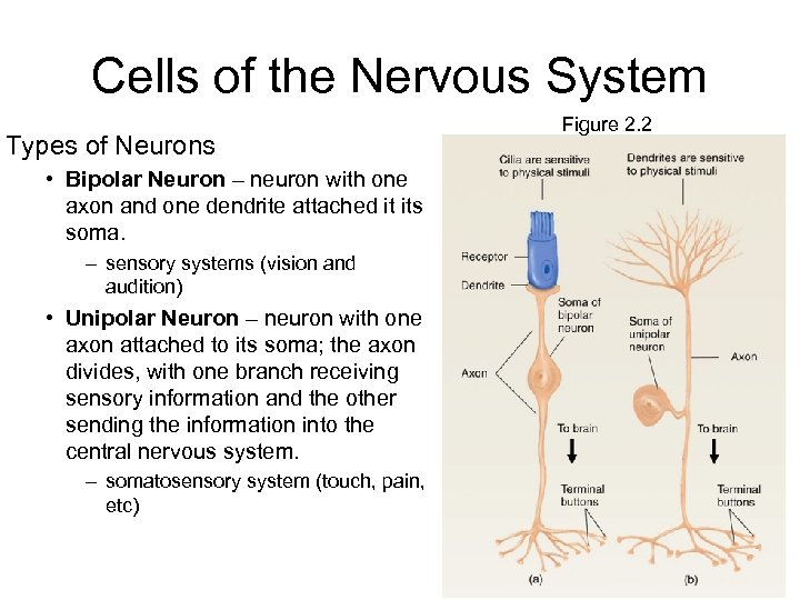 Cells of the Nervous System Types of Neurons • Bipolar Neuron – neuron with