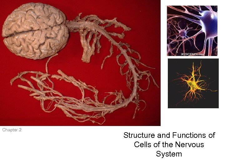 Mind and Brain Chapter 2 Structure and Functions of Cells of the Nervous System