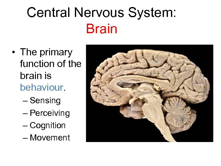Central Nervous System: Brain • The primary function of the brain is behaviour –