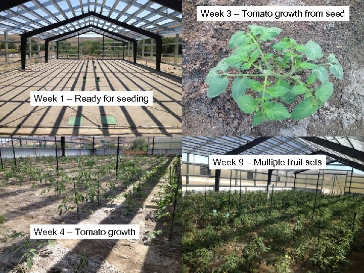 Week 3 – Tomato growth from seed Week 1 – Ready for seeding Week