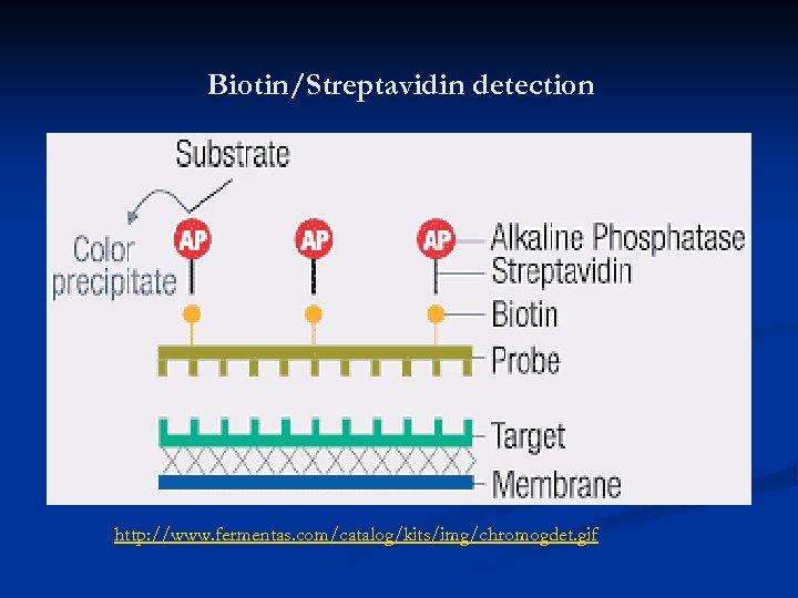 Biotin/Streptavidin detection http: //www. fermentas. com/catalog/kits/img/chromogdet. gif