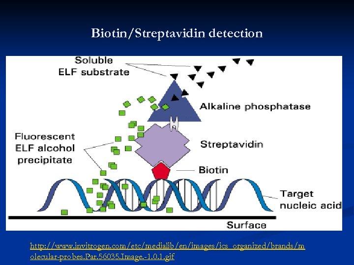 Biotin/Streptavidin detection http: //www. invitrogen. com/etc/medialib/en/images/ics_organized/brands/m olecular-probes. Par. 56035. Image. -1. 0. 1. gif