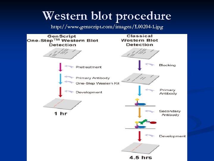 Western blot procedure http: //www. genscript. com/images/L 00204 -1. jpg