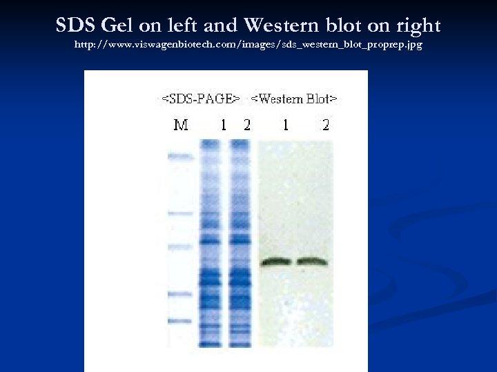 SDS Gel on left and Western blot on right http: //www. viswagenbiotech. com/images/sds_western_blot_proprep. jpg
