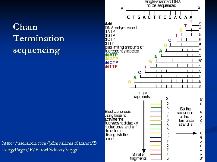 Chain Termination sequencing http: //users. rcn. com/jkimball. ma. ultranet/B iology. Pages/F/Fluor. Dideoxy. Seq. gif