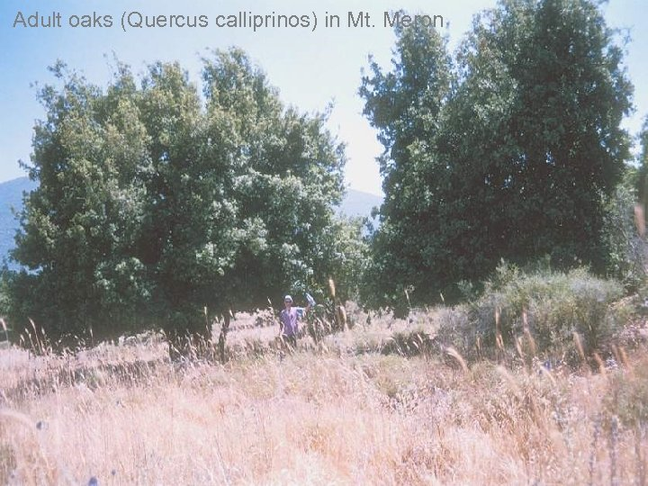 Adult oaks (Quercus calliprinos) in Mt. Meron