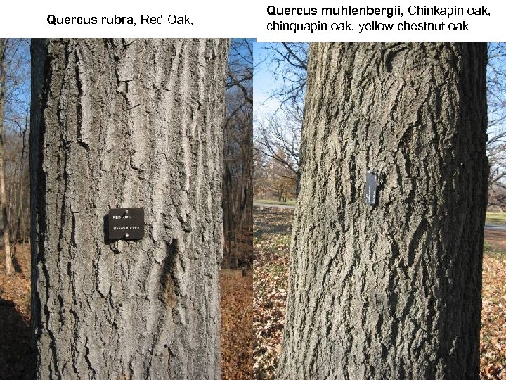 Quercus rubra, Red Oak, Quercus muhlenbergii, Chinkapin oak, chinquapin oak, yellow chestnut oak