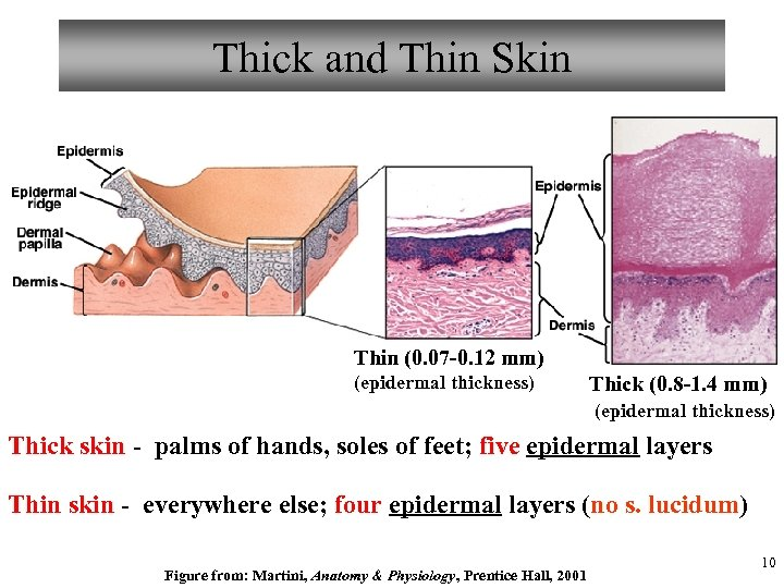 Thick and Thin Skin Thin (0. 07 -0. 12 mm) (epidermal thickness) Thick (0.